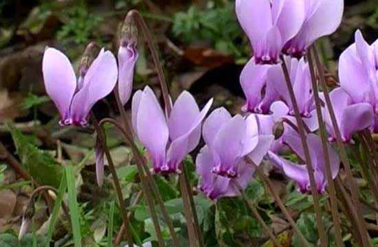 Cyclamens sauvages / Cyclamen europaeum